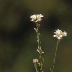 Hoary Alyssum (Berteroa incana (L.) DC)