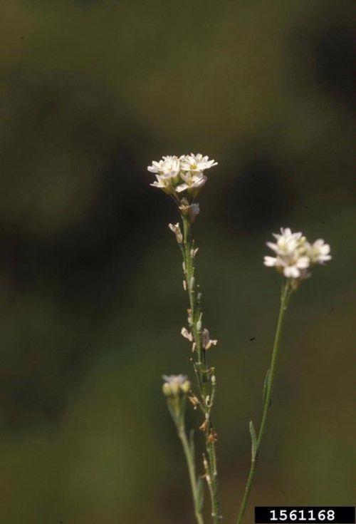 Hoary Alyssum, Beteroa incana, invasive plant