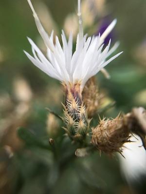 Diffuse Knapweed, Centaurea diffusa, invasive plant