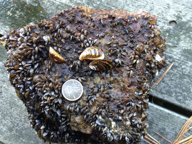 Zebra Mussels, Quagga Mussels, invasive species