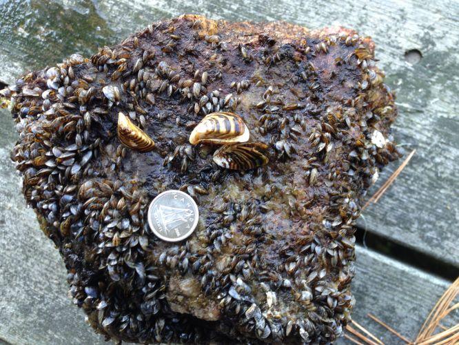 Zebra Mussels, Quagga Mussels, invasive species