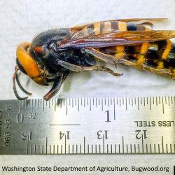 Asian Giant Hornet (Vespa mandarinia)