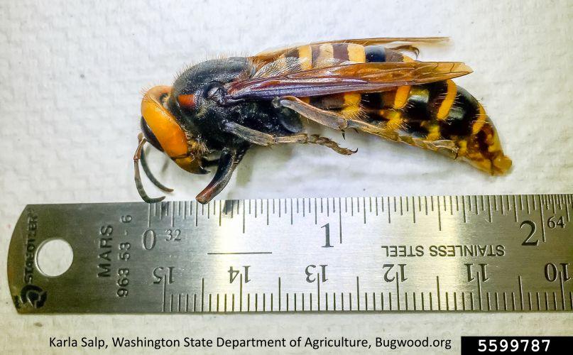 Asian giant hornet, vespa mandarinia, invasive species, invasive insect