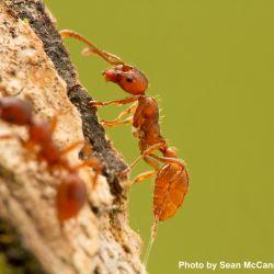 European Fire Ant (Myrmica rubra)