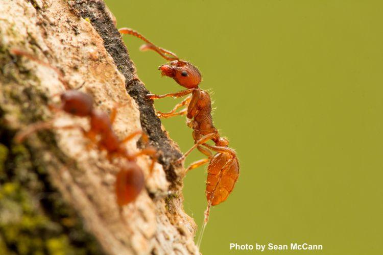 European Fire Ant, Myrmica rubra, invasive species, invasive insect