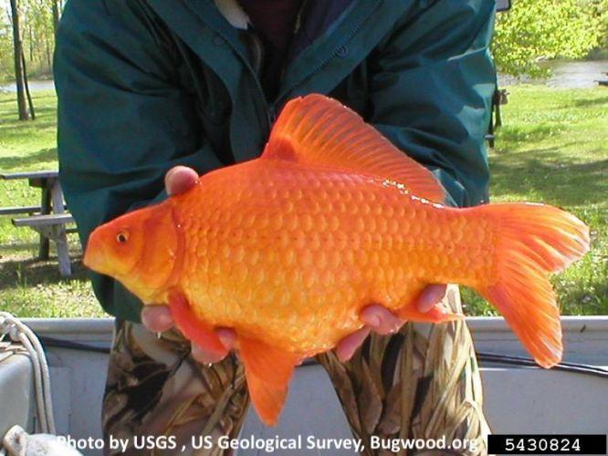 Goldfish, Carassius auratus, invasive species, pet