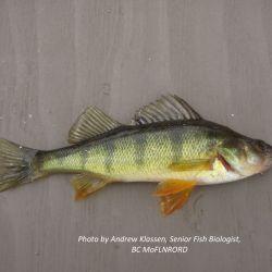Yellow Perch (Perca flavescens)