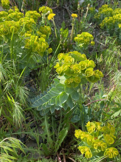 Donkey-tail Spurge, myrtle spurge, Euphorbia myrsinites, invasive plant