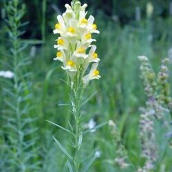 Yellow Toadflax (Linaria vulgaris)