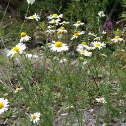 Scentless Chamomile (Matricaria perforata)