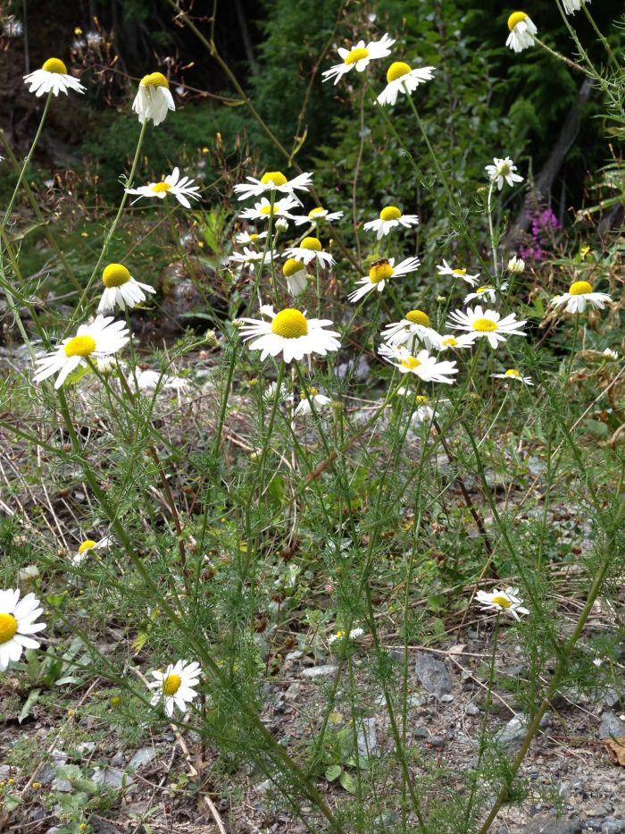 Scentless Chamomile, Matricaria perforata, invasive plant