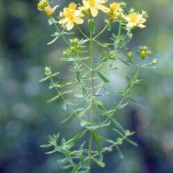 St. John's Wort (Hypericum perforatum L.)
