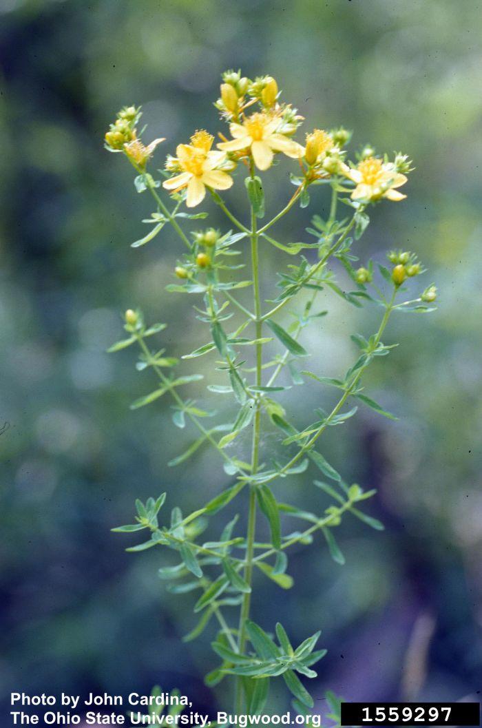 St. John's Wort, Hypericum perforatum L., invasive plant