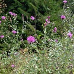Spotted Knapweed (Centaurea stoebe)
