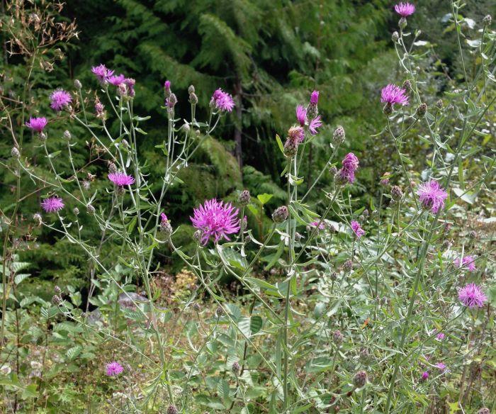 Spotted Knapweed, Centaurea biebersteinii DC., invasive plant