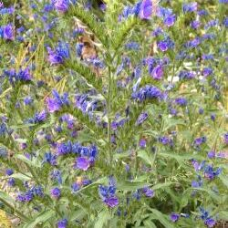 Blueweed (Echium vulgare L.)