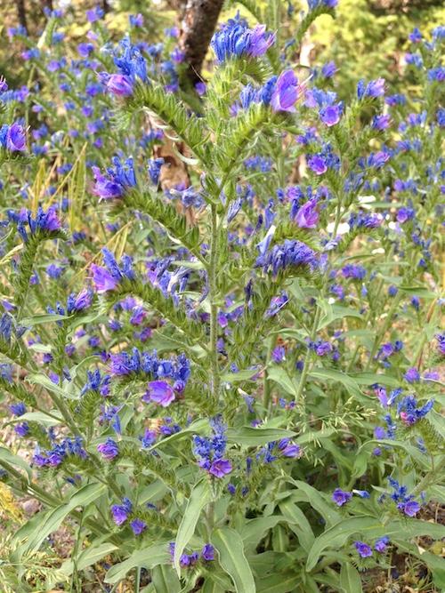 Blueweed (Echium vulgare L.)