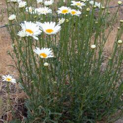 Oxeye Daisy (Leucanthemum vulgare Lam.)