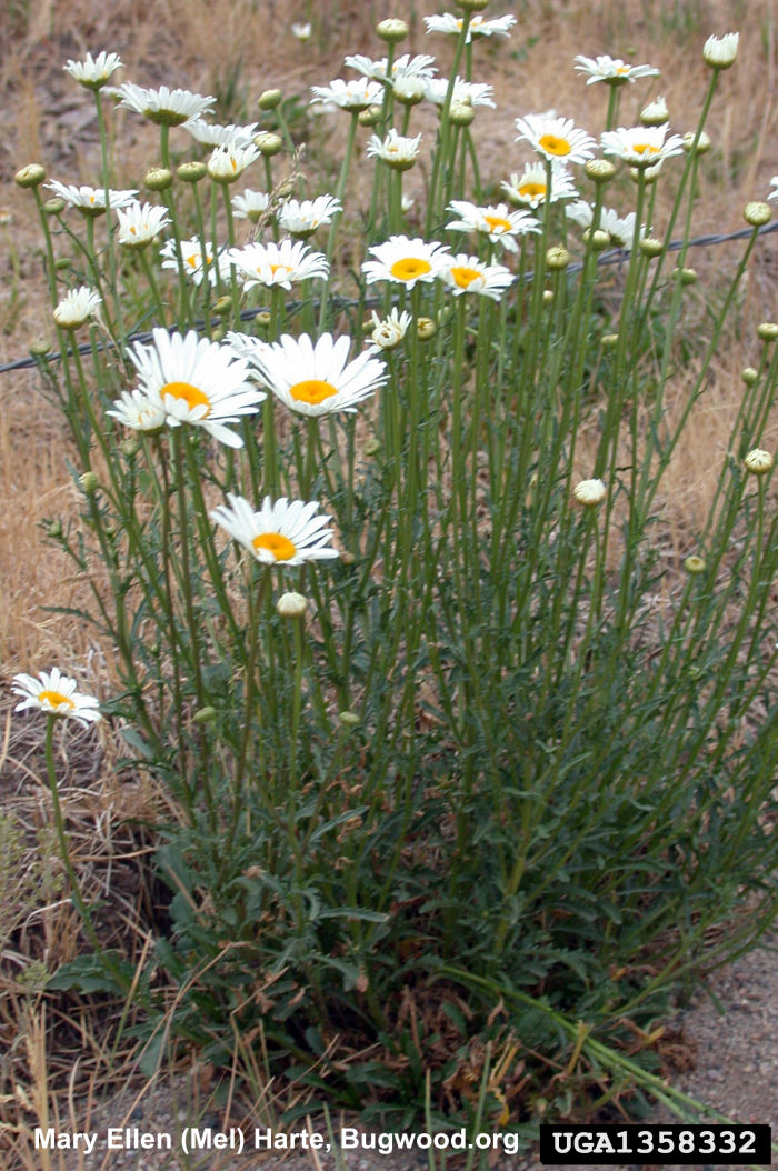 Oxeye Daisy, Leucanthemum vulgare, invasive plant