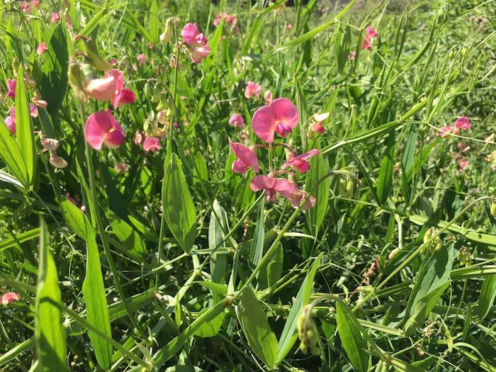 Flat Peavine, invasive plant