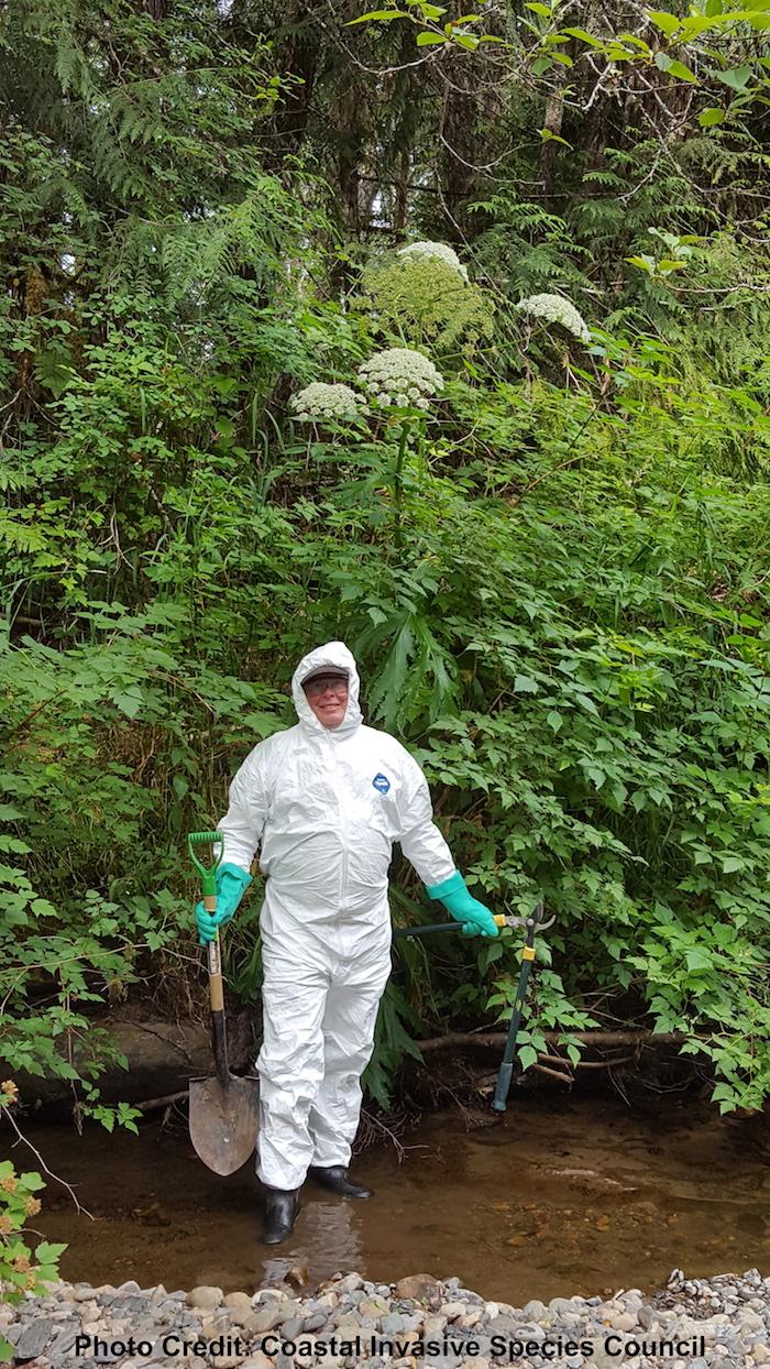 Giant Hogweed, invasive, phototoxic