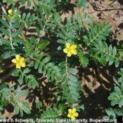 Puncturevine (Tribulus terrestris L.)