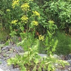 Wild Parsnip (Pastinaca sativa L.)