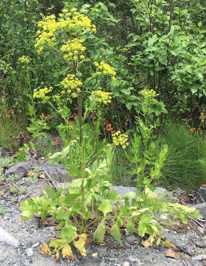 Wild Parsnip, Pastinaca sativa L., invasive plant