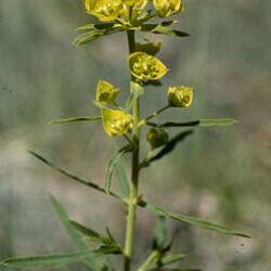 Leafy Spurge (Euphorbia esula L.)