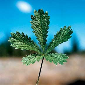Sulphur Cinquefoil, Potentilla recta L., invasive plant