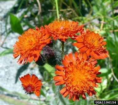Orange Hawkweed, Hieracium aurantiacum L., invasive plant