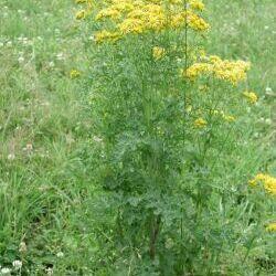Tansy Ragwort (Senecio jacobaea L.)